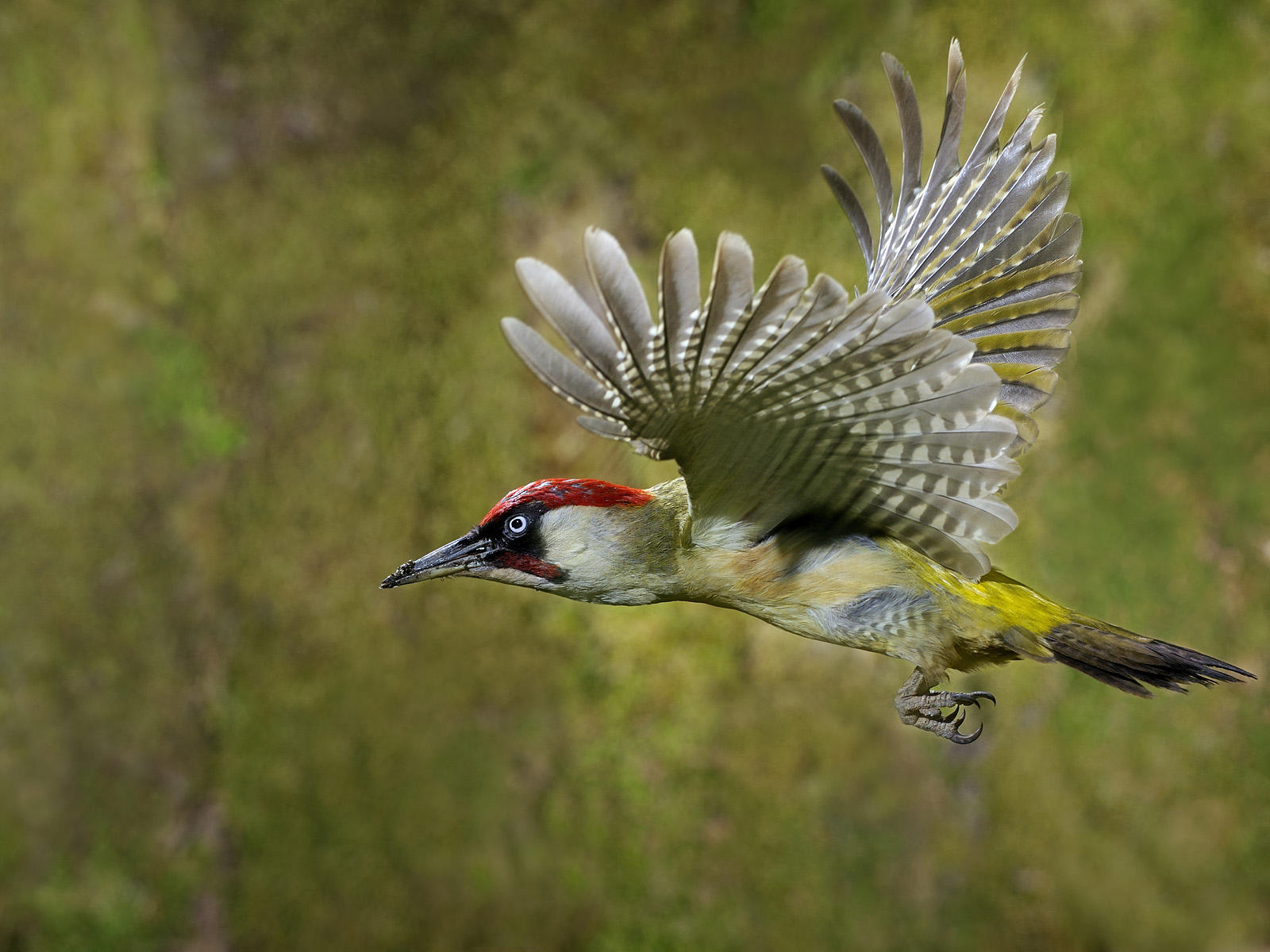Awesome Woodpecker Pictures 39722 1600x1200 px ~ fond ecran