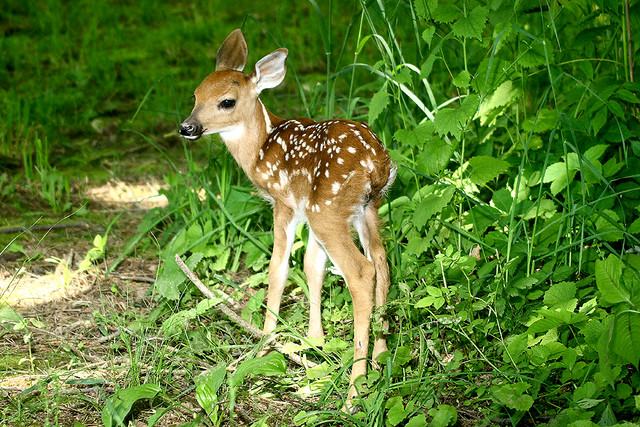 baby whitetail fawn in - photo #17