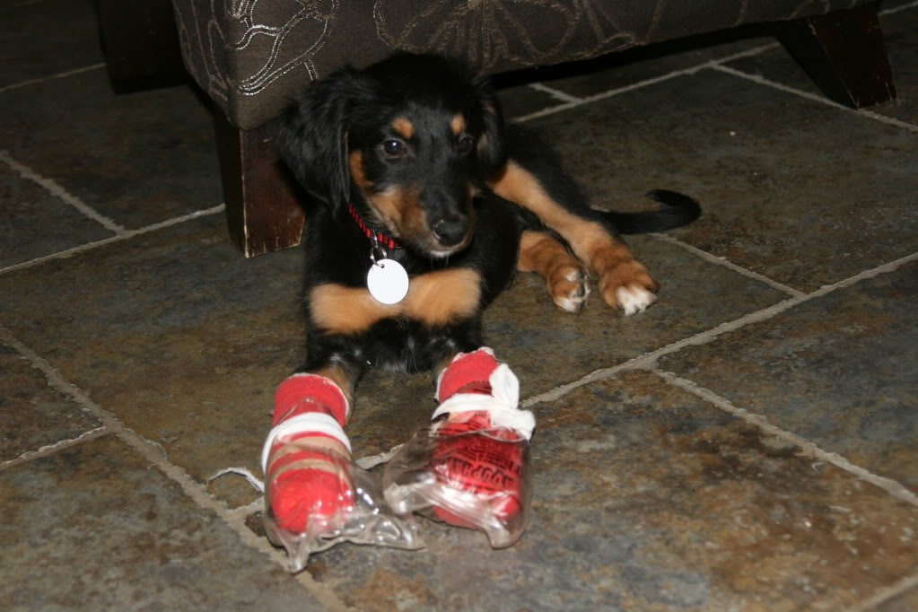 Rickets in puppies